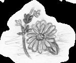 Lavendel_und_Ringelblume