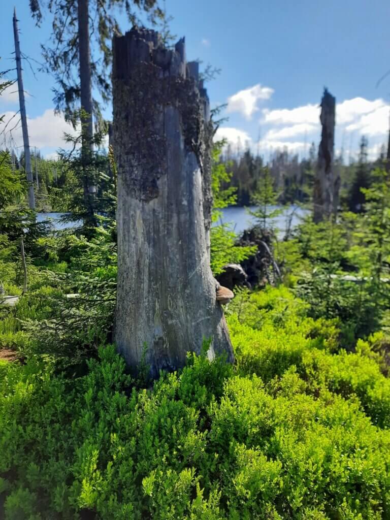 Baumstamm am Oderteich im Harz